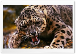 Angry Cheetah HD Wide Wallpaper for Widescreen