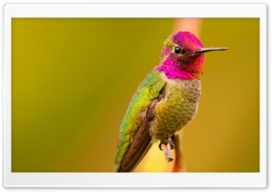 Anna's Hummingbird Male Bird HD Wide Wallpaper for 4K UHD Widescreen desktop & smartphone