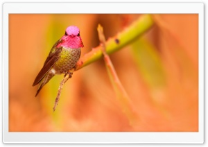 Anna's Hummingbird Male Pink Head HD Wide Wallpaper for 4K UHD Widescreen desktop & smartphone