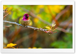 Anna's Hummingbird Perched on a Branch HD Wide Wallpaper for Widescreen