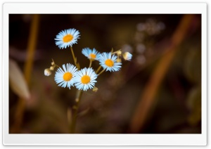 Annual Fleabane Daisy Flower HD Wide Wallpaper for 4K UHD Widescreen desktop & smartphone