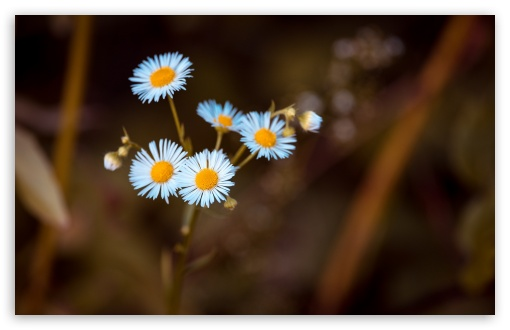 Annual Fleabane Daisy Flower ❤ 4K UHD Wallpaper for Wide 16:10 5:3 Widescreen WHXGA WQXGA WUXGA WXGA WGA ; 4K UHD 16:9 Ultra High Definition 2160p 1440p 1080p 900p 720p ; Standard 4:3 5:4 3:2 Fullscreen UXGA XGA SVGA QSXGA SXGA DVGA HVGA HQVGA ( Apple PowerBook G4 iPhone 4 3G 3GS iPod Touch ) ; Smartphone 16:9 3:2 5:3 2160p 1440p 1080p 900p 720p DVGA HVGA HQVGA ( Apple PowerBook G4 iPhone 4 3G 3GS iPod Touch ) WGA ; Tablet 1:1 ; iPad 1/2/Mini ; Mobile 4:3 5:3 3:2 16:9 5:4 - UXGA XGA SVGA WGA DVGA HVGA HQVGA ( Apple PowerBook G4 iPhone 4 3G 3GS iPod Touch ) 2160p 1440p 1080p 900p 720p QSXGA SXGA ;
