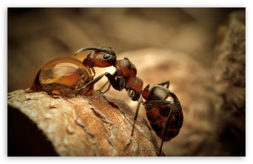 Ant Drinking Water HD wallpaper for Wide 16:10 5:3 Widescreen WHXGA WQXGA WUXGA WXGA WGA ; HD 16:9 High Definition WQHD QWXGA 1080p 900p 720p QHD nHD ; Standard 4:3 5:4 Fullscreen UXGA XGA SVGA QSXGA SXGA ; MS 3:2 DVGA HVGA HQVGA devices ( Apple PowerBook G4 iPhone 4 3G 3GS iPod Touch ) ; Mobile VGA WVGA iPhone iPad PSP Phone - VGA QVGA Smartphone ( PocketPC GPS iPod Zune BlackBerry HTC Samsung LG Nokia Eten Asus ) WVGA WQVGA Smartphone ( HTC Samsung Sony Ericsson LG Vertu MIO ) HVGA Smartphone ( Apple iPhone iPod BlackBerry HTC Samsung Nokia ) Sony PSP Zune HD Zen ; Tablet 1&2 Android ; Dual 4:3 5:4 16:10 5:3 16:9 UXGA XGA SVGA QSXGA SXGA WHXGA WQXGA WUXGA WXGA WGA WQHD QWXGA 1080p 900p 720p QHD nHD ;