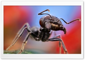 Ant Macro HD Wide Wallpaper for Widescreen