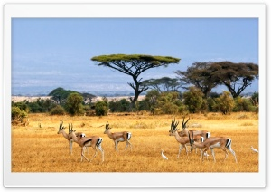 Antelopes HD Wide Wallpaper for Widescreen