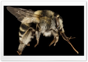 Anthophora Dalmatica Bee Macro HD Wide Wallpaper for 4K UHD Widescreen desktop & smartphone