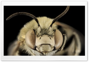 Anthophora Montana Bee Macro HD Wide Wallpaper for Widescreen