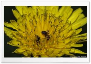 Ants on a yellow flower Ultra HD Wallpaper for 4K UHD Widescreen desktop, tablet & smartphone