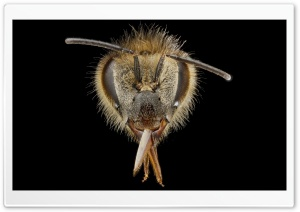 Apis Mellifera Bee Macro Photography HD Wide Wallpaper for Widescreen