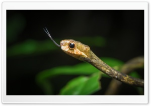Aplopeltura Boa, the Blunthead Slug Snake Close up Ultra HD Wallpaper for 4K UHD Widescreen desktop, tablet & smartphone