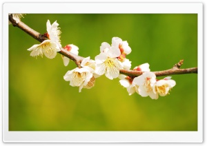 Apple Flowers Branch HD Wide Wallpaper for Widescreen