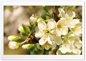 Apple Flowers Bunch HD Wide Wallpaper for Widescreen