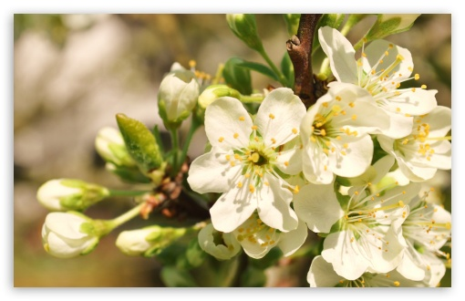 Apple Flowers Bunch HD wallpaper for Wide 16:10 5:3 Widescreen WHXGA WQXGA WUXGA WXGA WGA ; HD 16:9 High Definition WQHD QWXGA 1080p 900p 720p QHD nHD ; Standard 4:3 5:4 3:2 Fullscreen UXGA XGA SVGA QSXGA SXGA DVGA HVGA HQVGA devices ( Apple PowerBook G4 iPhone 4 3G 3GS iPod Touch ) ; Tablet 1:1 ; iPad 1/2/Mini ; Mobile 4:3 5:3 3:2 16:9 5:4 - UXGA XGA SVGA WGA DVGA HVGA HQVGA devices ( Apple PowerBook G4 iPhone 4 3G 3GS iPod Touch ) WQHD QWXGA 1080p 900p 720p QHD nHD QSXGA SXGA ; Dual 4:3 5:4 UXGA XGA SVGA QSXGA SXGA ;