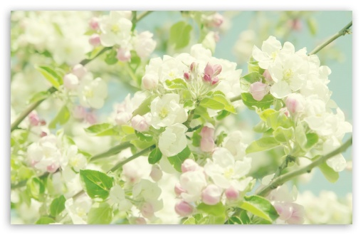 Apple Flowers Springtime HD wallpaper for Wide 16:10 5:3 Widescreen WHXGA WQXGA WUXGA WXGA WGA ; HD 16:9 High Definition WQHD QWXGA 1080p 900p 720p QHD nHD ; Standard 4:3 5:4 3:2 Fullscreen UXGA XGA SVGA QSXGA SXGA DVGA HVGA HQVGA devices ( Apple PowerBook G4 iPhone 4 3G 3GS iPod Touch ) ; Tablet 1:1 ; iPad 1/2/Mini ; Mobile 4:3 5:3 3:2 16:9 5:4 - UXGA XGA SVGA WGA DVGA HVGA HQVGA devices ( Apple PowerBook G4 iPhone 4 3G 3GS iPod Touch ) WQHD QWXGA 1080p 900p 720p QHD nHD QSXGA SXGA ; Dual 16:10 5:3 16:9 4:3 5:4 WHXGA WQXGA WUXGA WXGA WGA WQHD QWXGA 1080p 900p 720p QHD nHD UXGA XGA SVGA QSXGA SXGA ;