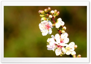 Apple Flowers Twig HD Wide Wallpaper for Widescreen