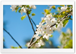 Apple Tree HD Wide Wallpaper for Widescreen