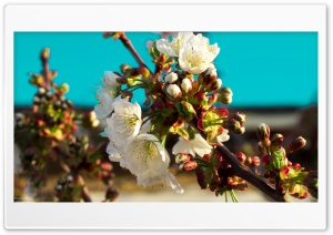 Apple Tree Flowers HD Wide Wallpaper for Widescreen