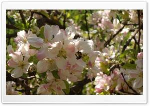 Apple Tree in Bloom HD Wide Wallpaper for Widescreen
