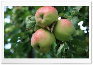 Apple Tree With Green Apples HD Wide Wallpaper for Widescreen