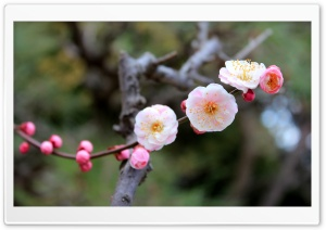 Apricot Blossoms HD Wide Wallpaper for Widescreen