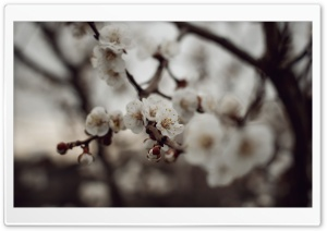 Apricot Flower HD Wide Wallpaper for Widescreen