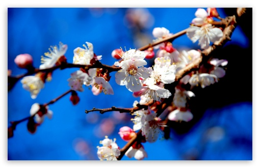 Apricot Flowers HD wallpaper for Wide 16:10 5:3 Widescreen WHXGA WQXGA WUXGA WXGA WGA ; HD 16:9 High Definition WQHD QWXGA 1080p 900p 720p QHD nHD ; UHD 16:9 WQHD QWXGA 1080p 900p 720p QHD nHD ; Standard 4:3 5:4 3:2 Fullscreen UXGA XGA SVGA QSXGA SXGA DVGA HVGA HQVGA devices ( Apple PowerBook G4 iPhone 4 3G 3GS iPod Touch ) ; Tablet 1:1 ; iPad 1/2/Mini ; Mobile 4:3 5:3 3:2 16:9 5:4 - UXGA XGA SVGA WGA DVGA HVGA HQVGA devices ( Apple PowerBook G4 iPhone 4 3G 3GS iPod Touch ) WQHD QWXGA 1080p 900p 720p QHD nHD QSXGA SXGA ; Dual 16:10 5:3 16:9 4:3 5:4 WHXGA WQXGA WUXGA WXGA WGA WQHD QWXGA 1080p 900p 720p QHD nHD UXGA XGA SVGA QSXGA SXGA ;