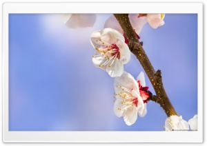 Apricot Flowers HD Wide Wallpaper for Widescreen