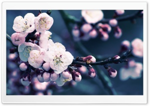 Apricot Flowers Close Up HD Wide Wallpaper for Widescreen