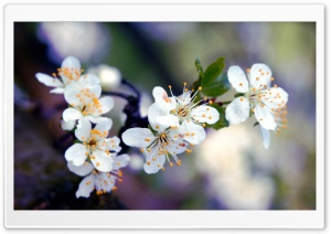 Apricot Flowers Macro HD Wide Wallpaper for Widescreen