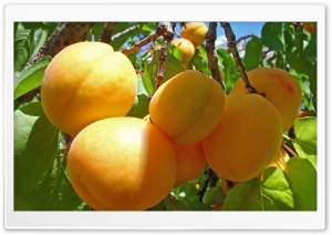Apricot Fruits HD Wide Wallpaper for Widescreen