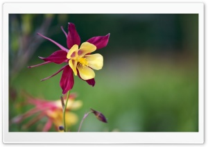 Aquilegia Vulgaris Flower HD Wide Wallpaper for Widescreen