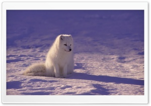 Arctic Fox HD Wide Wallpaper for Widescreen