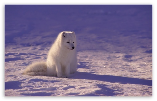 Arctic Fox ❤ 4K UHD Wallpaper for Wide 16:10 5:3 Widescreen WHXGA WQXGA WUXGA WXGA WGA ; UltraWide 21:9 24:10 ; 4K UHD 16:9 Ultra High Definition 2160p 1440p 1080p 900p 720p ; UHD 16:9 2160p 1440p 1080p 900p 720p ; Standard 4:3 5:4 3:2 Fullscreen UXGA XGA SVGA QSXGA SXGA DVGA HVGA HQVGA ( Apple PowerBook G4 iPhone 4 3G 3GS iPod Touch ) ; Smartphone 16:9 3:2 5:3 2160p 1440p 1080p 900p 720p DVGA HVGA HQVGA ( Apple PowerBook G4 iPhone 4 3G 3GS iPod Touch ) WGA ; Tablet 1:1 ; iPad 1/2/Mini ; Mobile 4:3 5:3 3:2 16:9 5:4 - UXGA XGA SVGA WGA DVGA HVGA HQVGA ( Apple PowerBook G4 iPhone 4 3G 3GS iPod Touch ) 2160p 1440p 1080p 900p 720p QSXGA SXGA ; Dual 16:10 5:3 16:9 4:3 5:4 3:2 WHXGA WQXGA WUXGA WXGA WGA 2160p 1440p 1080p 900p 720p UXGA XGA SVGA QSXGA SXGA DVGA HVGA HQVGA ( Apple PowerBook G4 iPhone 4 3G 3GS iPod Touch ) ; Triple 16:10 5:3 16:9 4:3 5:4 3:2 WHXGA WQXGA WUXGA WXGA WGA 2160p 1440p 1080p 900p 720p UXGA XGA SVGA QSXGA SXGA DVGA HVGA HQVGA ( Apple PowerBook G4 iPhone 4 3G 3GS iPod Touch ) ;