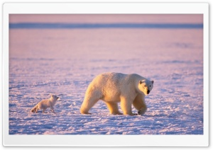 Arctic Fox And Polar Bear HD Wide Wallpaper for 4K UHD Widescreen desktop & smartphone