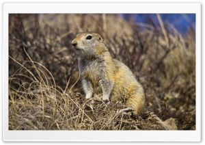 Arctic Ground Squirrel HD Wide Wallpaper for Widescreen