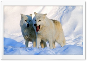 Arctic Wolves Ultra HD Wallpaper for 4K UHD Widescreen desktop, tablet & smartphone