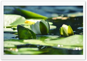 Armenia Water Lily HD Wide Wallpaper for Widescreen