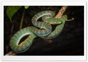 Asian Banded Pit Viper Snake Ultra HD Wallpaper for 4K UHD Widescreen desktop, tablet & smartphone