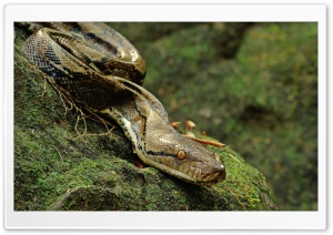 Asiatic Reticulated Python HD Wide Wallpaper for Widescreen