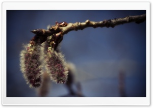 Aspen Catkins HD Wide Wallpaper for Widescreen