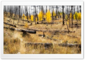 Aspen Forest Recovery Ultra HD Wallpaper for 4K UHD Widescreen desktop, tablet & smartphone