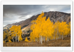 Aspen Trees In The Fall HD Wide Wallpaper for 4K UHD Widescreen desktop & smartphone