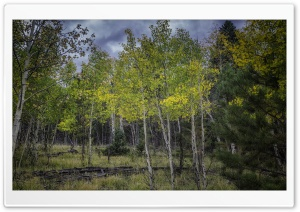 Aspen Trees Saplings HD Wide Wallpaper for 4K UHD Widescreen desktop & smartphone