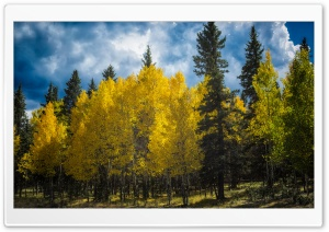 Aspens Trees Colorado HD Wide Wallpaper for Widescreen