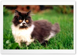 Astonished Kitten HD Wide Wallpaper for Widescreen