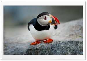 Atlantic Puffin Bird Ultra HD Wallpaper for 4K UHD Widescreen desktop, tablet & smartphone