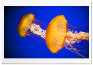 Atlantic Sea Nettle Jellyfish HD Wide Wallpaper for 4K UHD Widescreen desktop & smartphone