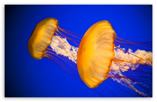 Atlantic Sea Nettle Jellyfish HD wallpaper for Wide 16:10 5:3 Widescreen WHXGA WQXGA WUXGA WXGA WGA ; HD 16:9 High Definition WQHD QWXGA 1080p 900p 720p QHD nHD ; Standard 4:3 5:4 3:2 Fullscreen UXGA XGA SVGA QSXGA SXGA DVGA HVGA HQVGA devices ( Apple PowerBook G4 iPhone 4 3G 3GS iPod Touch ) ; iPad 1/2/Mini ; Mobile 4:3 5:3 3:2 16:9 5:4 - UXGA XGA SVGA WGA DVGA HVGA HQVGA devices ( Apple PowerBook G4 iPhone 4 3G 3GS iPod Touch ) WQHD QWXGA 1080p 900p 720p QHD nHD QSXGA SXGA ;