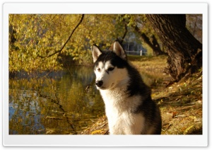 Attentive Husky HD Wide Wallpaper for 4K UHD Widescreen desktop & smartphone