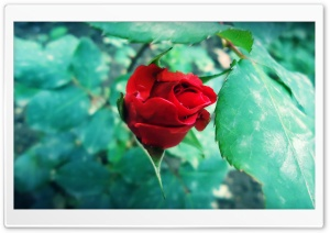 atuKa`s art (rose) HD Wide Wallpaper for Widescreen